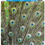 Reminisce - Animal Prints Collection - 12 x 12 Double Sided Paper - Peacock