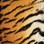 SugarTree - 12 x 12 Paper - Tiger Stripes