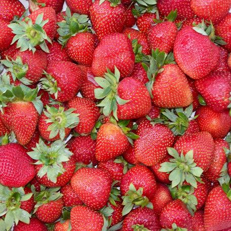 SugarTree - 12 x 12 Paper - Strawberries