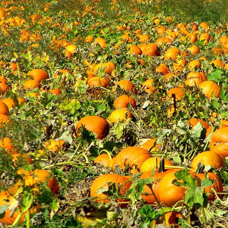 SugarTree - 12 x 12 Paper - Pumpkin Patch
