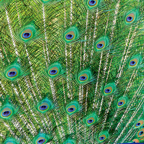 SugarTree - 12 x 12 Paper - Peacock Feathers